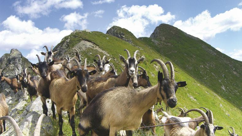 Perseguitata ingiustamente: la capra